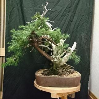 大品杜松盆栽