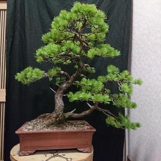 五葉松盆栽、双幹