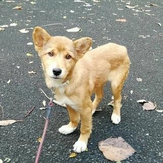 県外譲渡可🆘生後3カ月弱位の子犬🐶可愛い女の子が幸せを待っています!