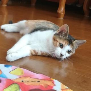 三毛猫3ヶ月避妊手術済み里親決定🐱