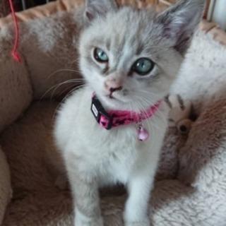 2ヶ月の女の子猫ちゃん❤正式譲渡決定しました!