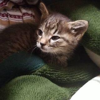 キジトラ子猫(一度締切ります) - 猫