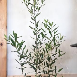 🌿オリーブの木【新品種ひなかぜ】鉢植え/植木鉢込み✅販売再開/在...