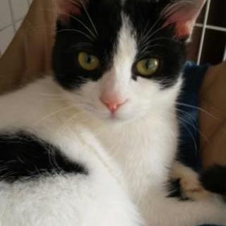 ハチワレ子猫(4-5か月)女の子