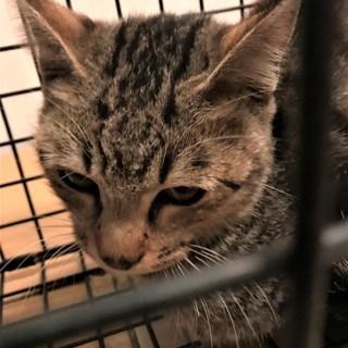 目がきれいなキジ猫4か月ぐらい。 - 加古川市