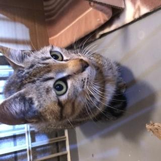 目がきれいなキジ猫4か月ぐらい。の画像