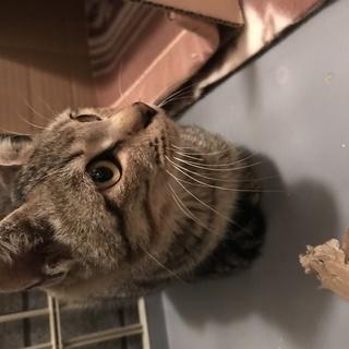 目がきれいなキジ猫4か月ぐらい。 - 猫