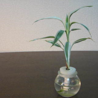観葉植物 土をつかわない水耕栽培 セラハイトのサンデリアーナ