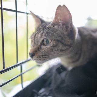 甘えん坊の綺麗なキジ猫!