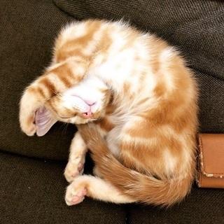 生後約2ヶ月の元気な男の子です - 猫