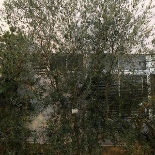 庭師さん必見!オリーブの木☆約3m60㎝