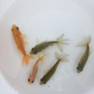 地金(ジキン)稚魚1匹