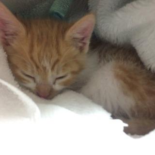 (推定)生後1ヶ月ほどの茶色い子猫♂