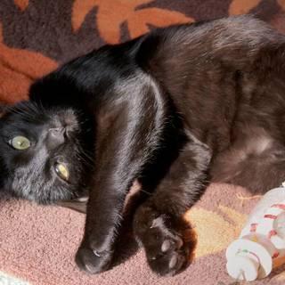 美しいメスの黒猫です。