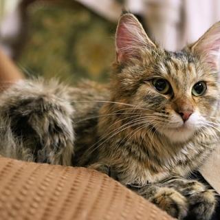 ややロングヘアーの若い猫1.7kgでガリガリの猫を保護しました。