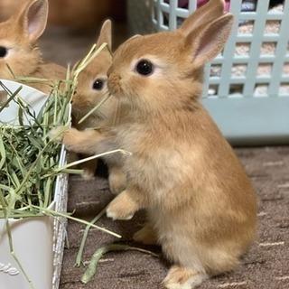 ミニウサギ(商談中)