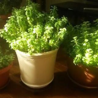 アロマティカス  鉢植え 大きさ3種類