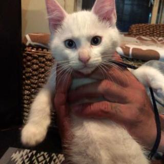 真っ白の目の色がきれいな子猫ちゃんです!!