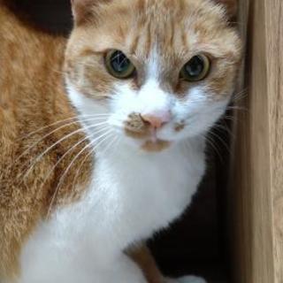 里親募集!茶白猫のオス 2歳。去勢済み。完全室内飼い!