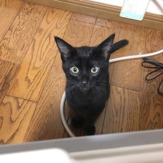 人懐こくて尻尾が長くて可愛い黒猫ちゃん!(生後3ヶ月)写真ではな...
