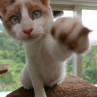 生後5ヶ月捨て猫7匹保護  2・シロ ブルーアイ