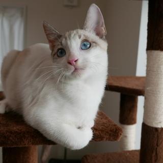 生後4ヶ月捨て猫7匹保護  1・シロ ブルーアイ