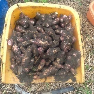 赤菊芋(紫菊芋) 生菊芋 食用(種芋にも)
