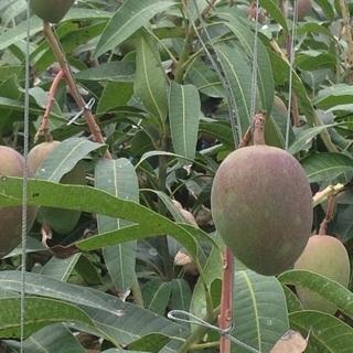 マンゴーオーナー栽培‼️募集‼️