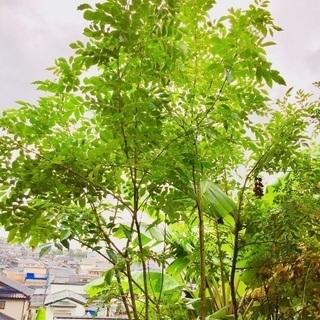 ①シマトネリコ  330cm 【特選 株立】