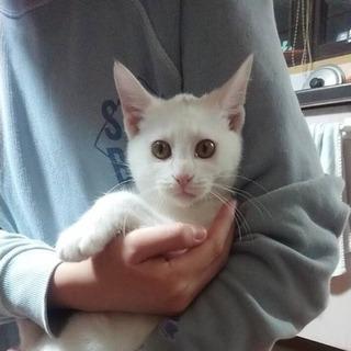 性格穏やかな白猫君里親募集