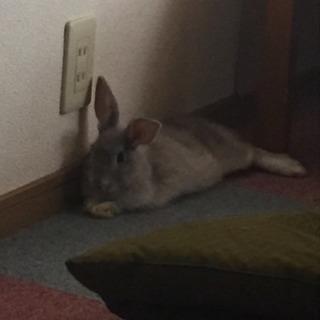 ウサギ譲ります。