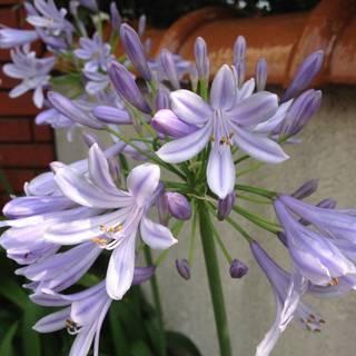 青い花☆アガパンサス☆紫君子蘭☆掘り上げ苗4株セットで