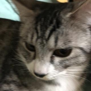 甘えん坊のトラ猫兄弟 助けてください - 藤枝市