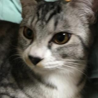 甘えん坊のトラ猫兄弟 助けてください - 猫