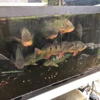 年内まで限定アイスポットシクリッド ピーコックバス キクラ 熱帯魚...