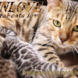 【BENLOVE】ベンガル猫専門ブリーダー