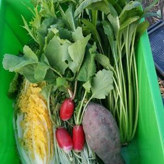 無農薬有機栽培 野菜セット