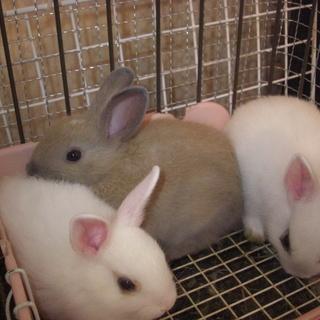 生後1年以内の子ウサギ