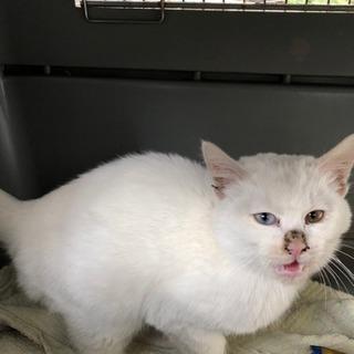 子猫 真っ白 人懐こい オッドアイ?