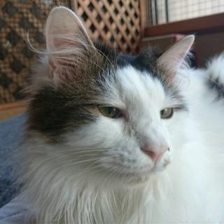 マイペースな性格のモフモフ貴公子 - 猫