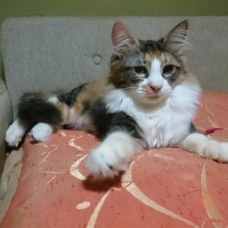 きれいな三毛長毛の女の子 - 猫