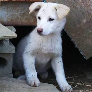 野良犬の子供です【白、メス、3か月ぐらい】