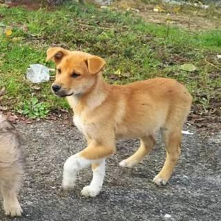 野良犬の子供です【茶(ソックス)、オス、3か月ぐらい】