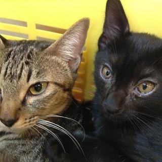 ジャンピングハグ 猫 親子での募集です キジトラ 黒猫 へその緒付...