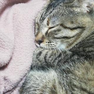 【急募】キジトラ9ヶ月♀【写真一枚目右の子】 - 猫