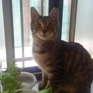 超甘ったれ キジのキイちゃん 6ヶ月弱の男の子 - 猫