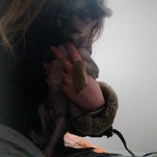 チャイニーズクレステッドドッグの子犬