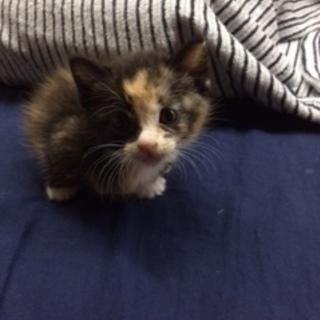 美人三毛 1歳ちょっと 避妊手術前なので子猫欲しい方に