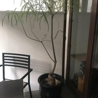 オシャレな観葉植物 ボトルツリー☆陶器の鉢付きです!