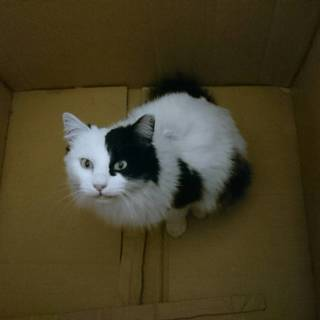 【!緊急!】白黒の長毛、若いメス猫です